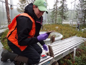 Griffiths examines leaf litter inside an experimental enclosure at the Spruce and Peatland Responses Under Changing Environments site in Minnesota.