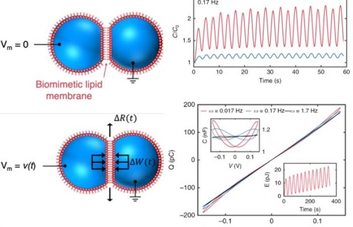 Dynamical Nonlinear Memory Capacitance in Biomimetic Membranes