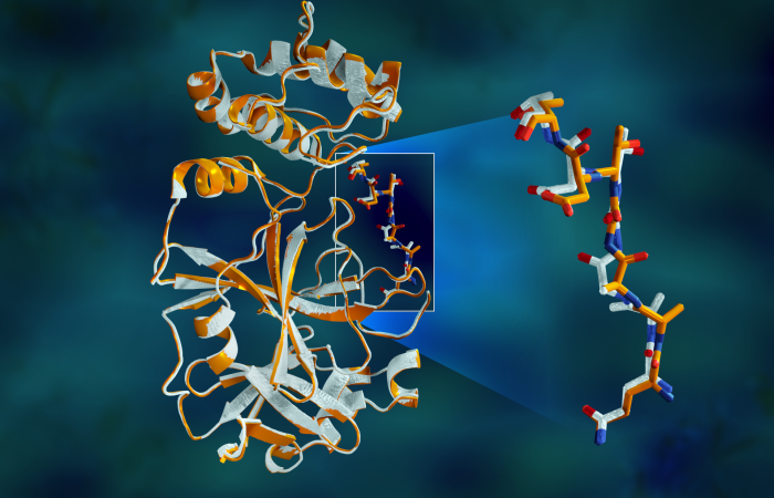 Overlapping X-ray data of the SARS-CoV-2 main protease shows structural differences between the protein at room temperature (orange) and the cryogenically frozen structure (white). Credit: Jill Hemman/ORNL, U.S. Dept. of Energy