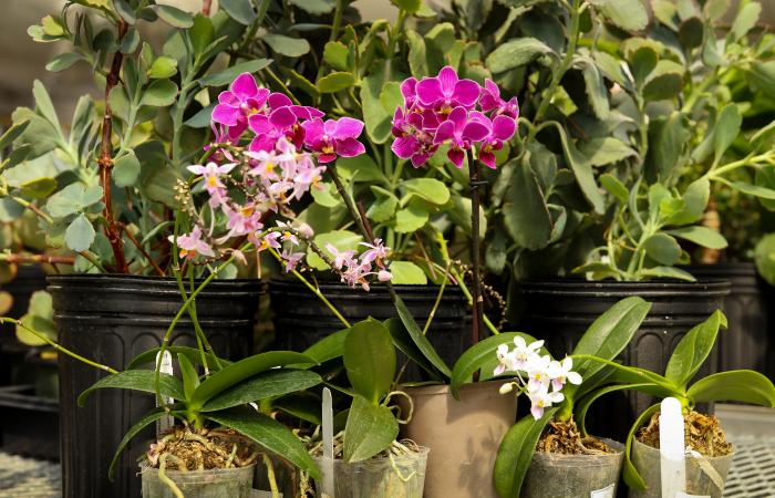 The team used ORNL's Titan supercomputer to compare the genomes of Kalanchoë fedtschenkoi (back row) and Phalaenopsis equestris, or orchid (front row), as well as Ananas comosus, or pineapple. Credit: Jason Richards/Oak Ridge National Laboratory, U.S. Dep