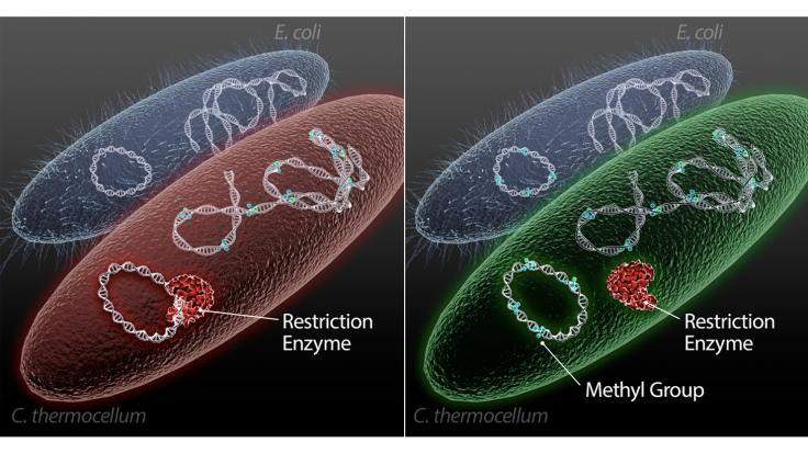 A new method uses E. coli to generate DNA with methylation patterns that target microbes recognize and accept as their own, facilitating customization of microbes for biofuels production.