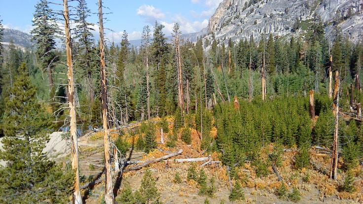 Pine trees in the Tuolumne Valley of Yosemite National Park show the effects of drought and fire. Credit: Anthony Walker/Oak Ridge National Laboratory, U.S. Dept. of Energy