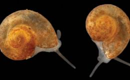 Researchers discovered the Tennessee cavesnail, Antrorbis tennesseensis, in caves near Oak Ridge National Laboratory. The snail measures in at less than 2 millimeters long. Credit: Nathaniel Shoobs and Matthew Niemiller