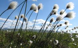 Eriophorum vaginatum flourishes in the tundra biome