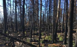 Saplings in an aspen grove recovering from wildfire have more fungal pathogens in their leaves than the original trees. Credit: Chris Schadt/ORNL, U.S. Dept. of Energy
