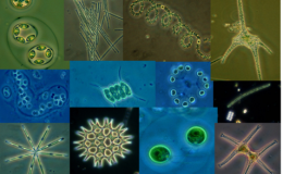 Productivity increases in algal communities when species exhibit complementary traits. Collage by Val Smith.