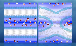 Illustration of neutron diffraction data showing water distribution (red and white molecules) near lipid bilayers prior to fusion (left) and during fusion.
