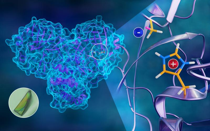 The first neutron structure of the SARS-CoV-2 main protease enzyme revealed unexpected electrical charges in the amino acids cysteine (negative) and histidine (positive), providing key data about the virus's replication. Credit: Jill Hemman/ORNL, U.S. Dept. of Energy